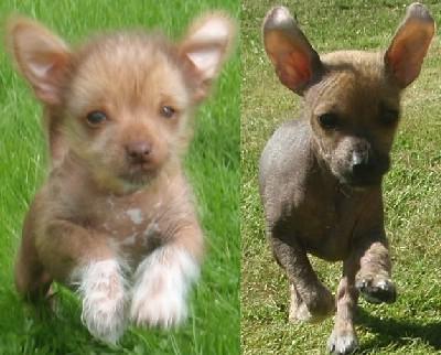 Chihuahua Kinesisk Nakenhund Valpar Annonser Saljes Annonser